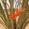 Red blossoms of the Ocotillo plant
